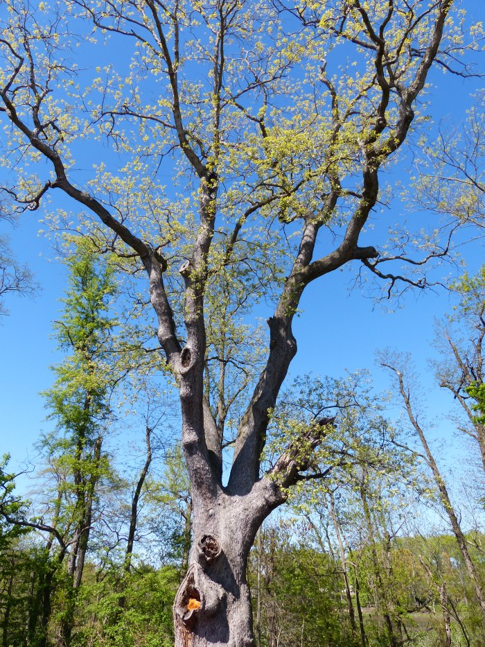Clement Oak in Deptford NJ